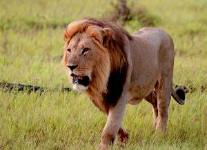 A photography buff, Smith captured a photo of a lion in Chobe National Park in Botswana.