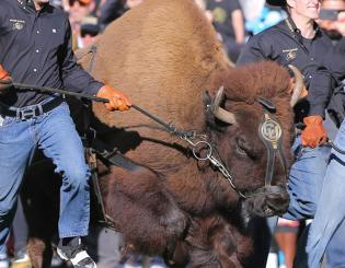 Colorado's live buffalo mascot, Ralphie V, to retire