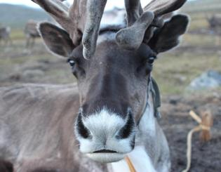Vanishing ice puts reindeer herders at risk