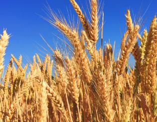 Colorado Grain Chain Project Award supports expanding markets for Colorado grain growers