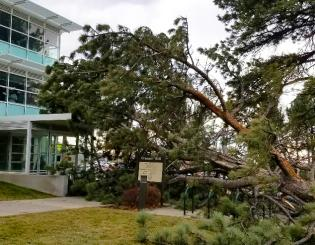 Wind knocks tree onto Cragmor Hall
