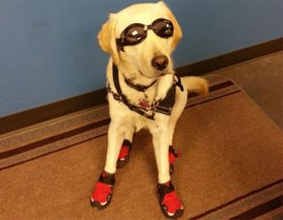 Ariel suited up in Doggles and booties and stayed on her mat during laboratory class for General Chemistry I last semester.
