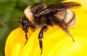 A western bumblebee. Photo by Stephen Ausmus, U.S. Department of Agriculture